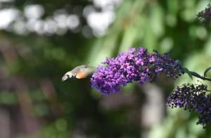 Dlouhozobka svízelová jako kolibřík